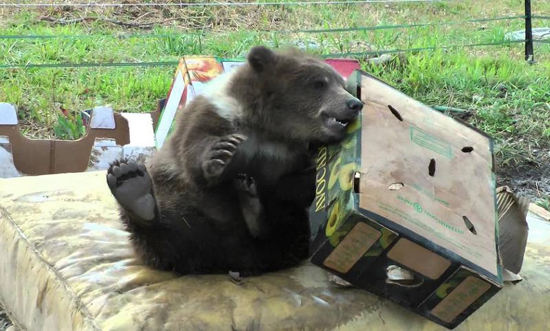 Bella the Bear Sheds Light on Grizzly Problem
