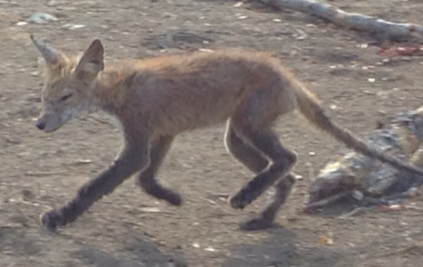 Our unofficial mascot, the Wakefield Fox.