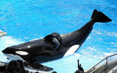 Tilikum is Seasick at Seaworld