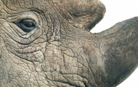 Last Male White Rhino is Gone and Forgotten