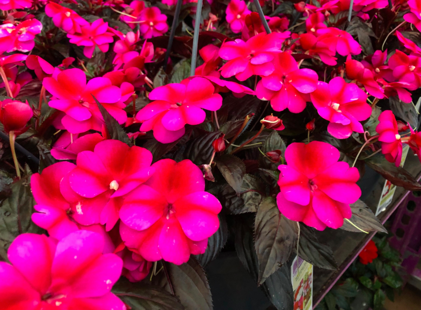 These colorful New Guinea Impatiens have long blooming flowers and are low maintenance.